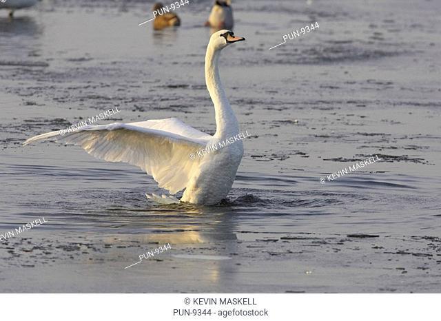 Mute swan Cygnus olor flapping wings after washing at Welney, Norfolk, England, United Kingdom, UK