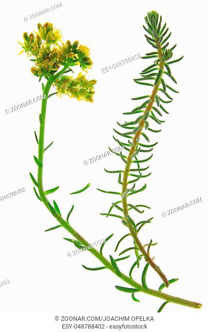 Felsen-Fetthenne Tripmadam (Sedum rupestre) freigestellte Pflanze vor weißem Hintergrund Prick-madam, reflexed stonecrop, or blue stonecrop (Sedum rupestre