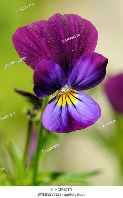 horned pansy, horned violet Viola cornuta, flower, Deutschland / Germany