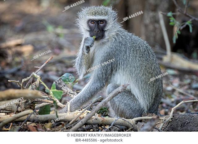 Vervet Monkey (Cheropithecus pygerythrus), Kruger National Park, South Africa