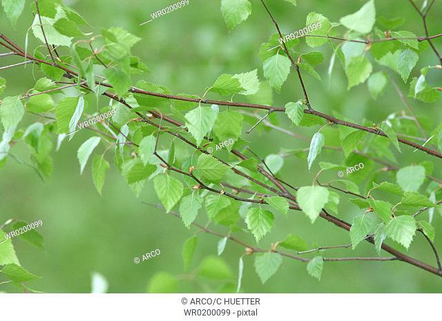 Downy, Birch, North, Rhine-Westphalia, Germany,Betula, pubescens