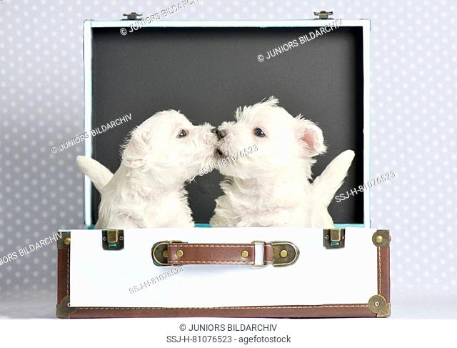 West Highland White Terrier. Two puppies (4 weeks old) in a small suitcase. Studio picture. Germany