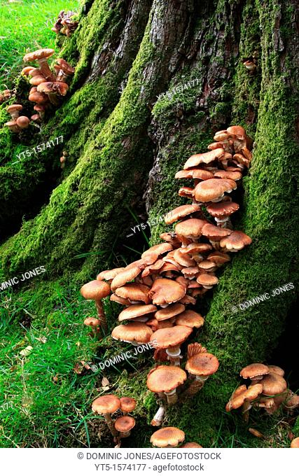 Fungi growing on an old moss covered tree, Buttermere, Lake District, Cumbria, England, Europe