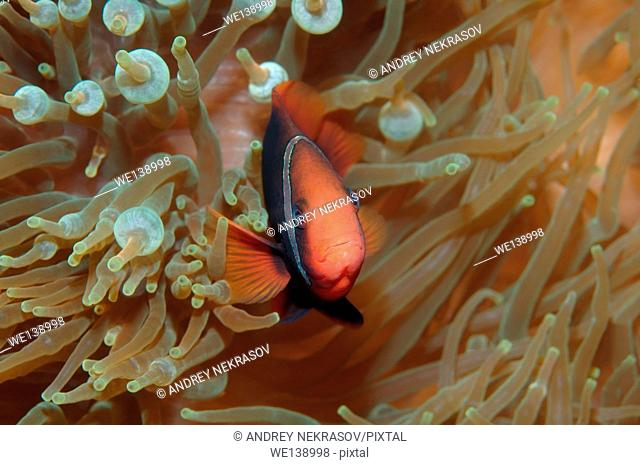 Cinnamon clownfish, red and black anemonefish, black-backed anemonefish or dusky anemonefish (Amphiprion melanopus) South China Sea, Redang, Malaysia, Asia