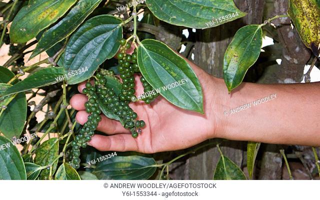 Peppercorn growing on vine Phu Quoc Island Vietnam