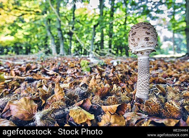 Parasol mushroom (Macrolepiota procera) in a beechwood. Urbasa-Andia Natural Park. Navarre, Spain, Europe