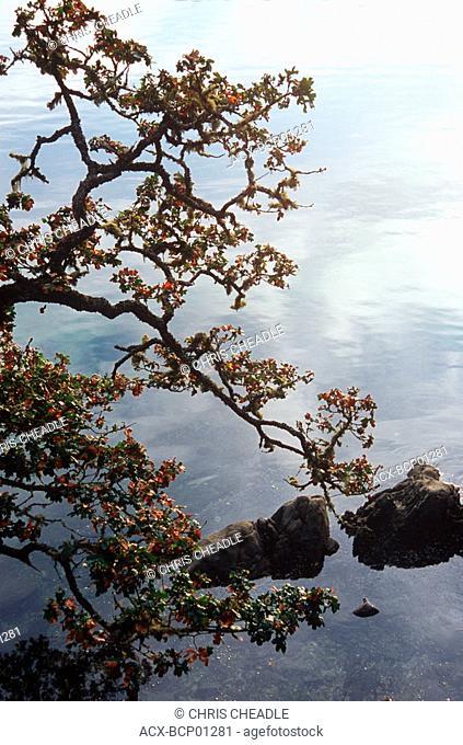 garry oak on shoreline, Pender Island, Beaumont Park, Gulf Islands National Park, British Columbia, Canada