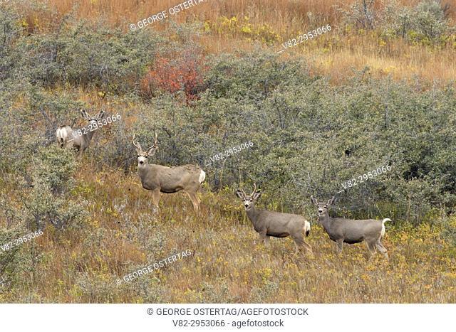Deer, Theodore Roosevelt National Park-North Unit, North Dakota