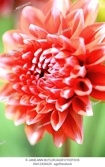 opening red dahlia sun-kissed in summer. . . floral language symbolises dignity and gratitude