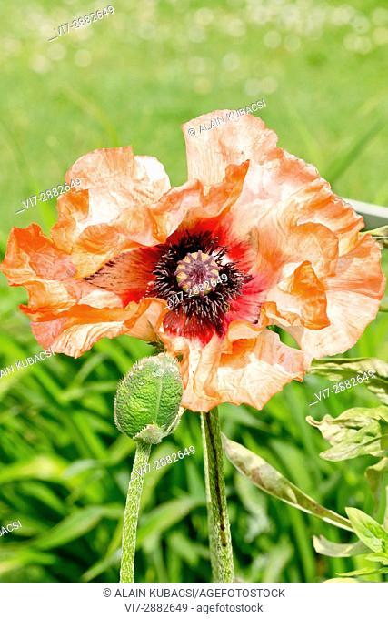 Oriental Poppy 'Picotee' / Papaver orientale 'Picotee'