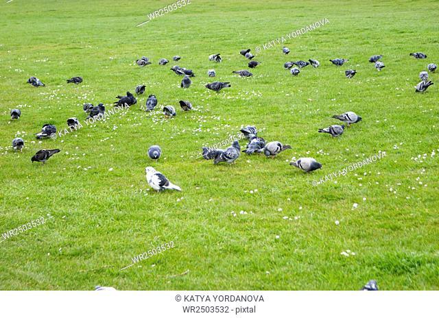Pigeons in public park