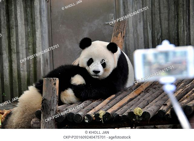 Pandas at the Chengdu Giant Panda Breeding and Research Base in Chengdu in southwest China's Sichuan province on September 21, 2016