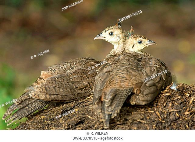 Common peafowl, Indian peafowl, blue peafowl (Pavo cristatus), resting chicks, Germany, North Rhine-Westphalia