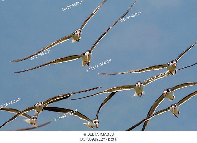 African skimmers (Rynchops flavirostris), in flight, Lake Gipe, Tsavo, Kenya, Africa