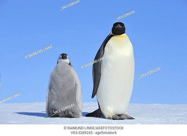 Emperor penguins, Aptenodytes forsteri, with a Chick, Snow Hill Island, Antartic Peninsula, Antarctica