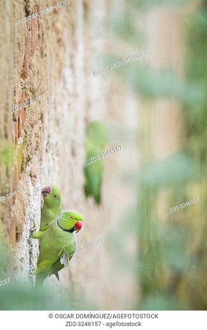 Rose-ringed Parakeet (Psittacula krameri), pair perched on nesting wall. Rajasthan. India