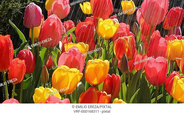 Watering tulips. Tulipa hybr