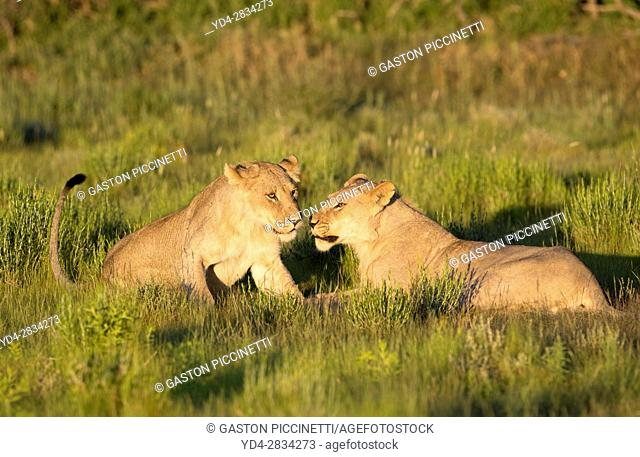 African lion (Panthera leo) - Youngs, in the bush, Kgalagadi Transfrontier Park, Kalahari desert, South Africa/Botswana