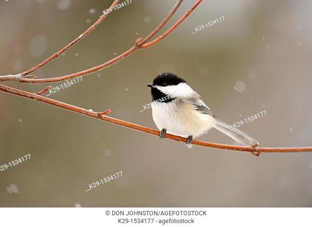 Black-capped Chickadee Poecile atricapillus Perched near winter seed feeder