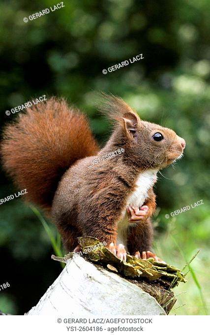 Red Squirrel, sciurus vulgaris, Adult, Normandy
