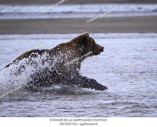 Coastal brown bear, also known as Grizzly Bear (Ursus Arctos) chasing silver salmon or coho salmon (Oncorhynchus kisutch). Cook Inlet