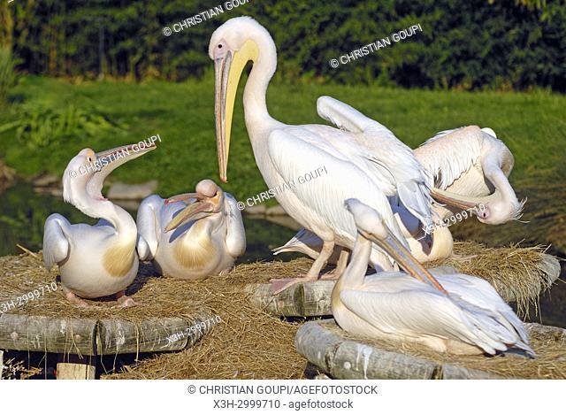 pelicans, ZooParc de Beauval, Loir-et-Cher department, Centre-Val de Loire region, France, Europe