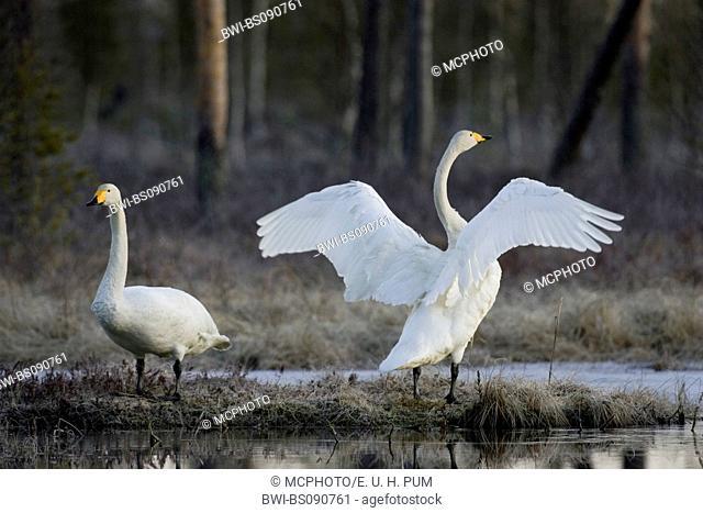 whooper swan (Cygnus cygnus), couple, flapping wings, Sweden