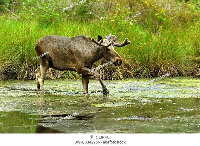 elk, European moose (Alces alces alces), walking in a pond, Germany