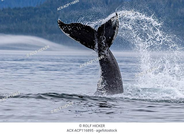 Humpback whale splashing with its tail in Queen Charlotte Strait off northern Vancouver Island, British Columbia, Canada