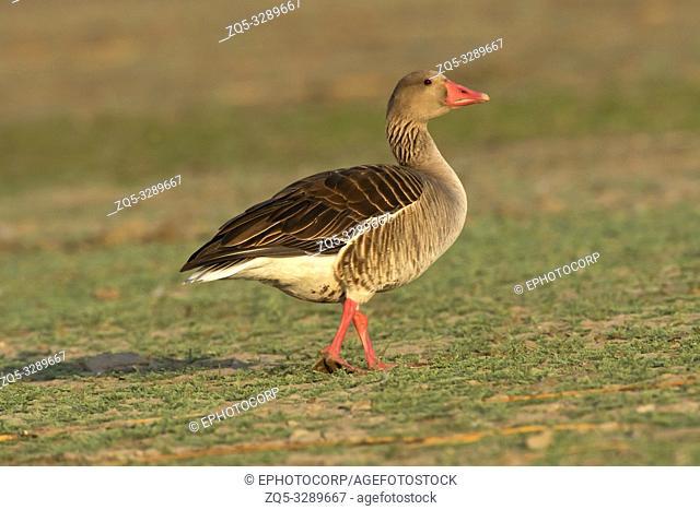 Greylag goose, Anser anser, India