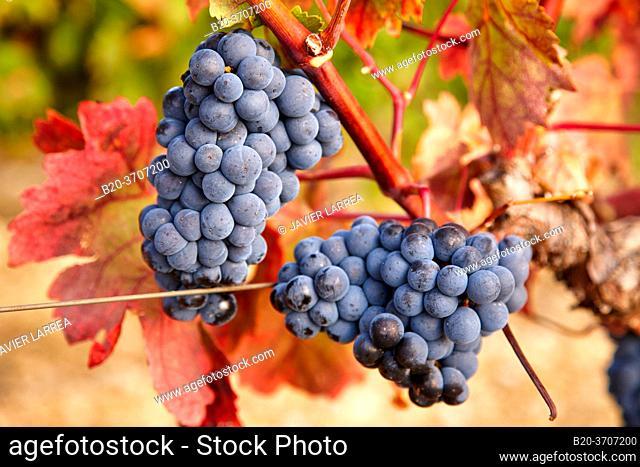 Grenache grape, Vineyards, Rioja wine, Laguardia, Rioja Alavesa, Araba, Euskadi, España