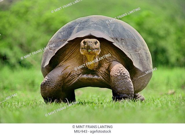 Giant tortoise, Geochelone nigra, Isabela Island, Galapagos Islands