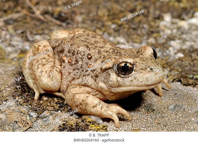 Iberian midwife toad (Alytes cisternasii), on rock, Spain, Kastilien, Sierra De Gredos