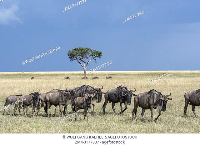 Wildebeests, also called gnus or wildebai, during their annual migration in the grassland of the Masai Mara National Reserve in Kenya