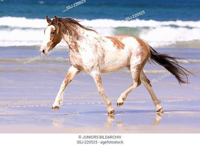 Maori Pony. Pinto mare trotting on a beach. New Zealand