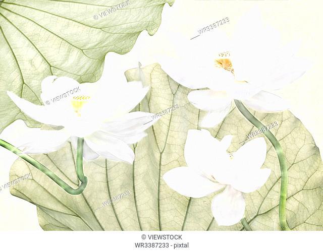 Lotus frameless draw