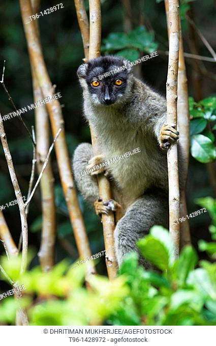 Eulemur fulvus (Common Brown Lemur)  Madagascar