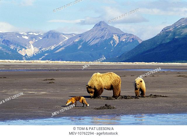 Grizzly Bears - Sow with yearling cub -digging razor clams on beach facing Shelikof Strait in Katmai National Park (Ursus arctos horribilis)