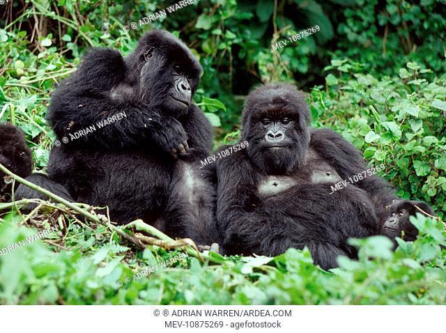 Ape: Mountain Gorillas - two females resting (Gorilla gorilla beringei). Virunga Volcanoes, Rwanda, Africa
