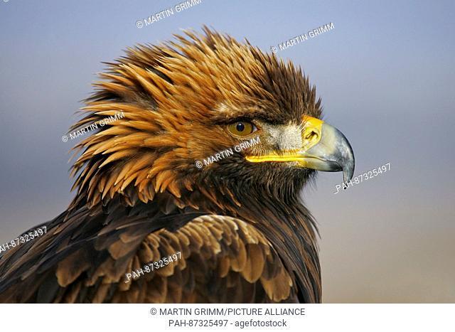 Golden Eagle (Aquila chrysaetos) portrait with close-up of head, Austria | usage worldwide. - /Austria