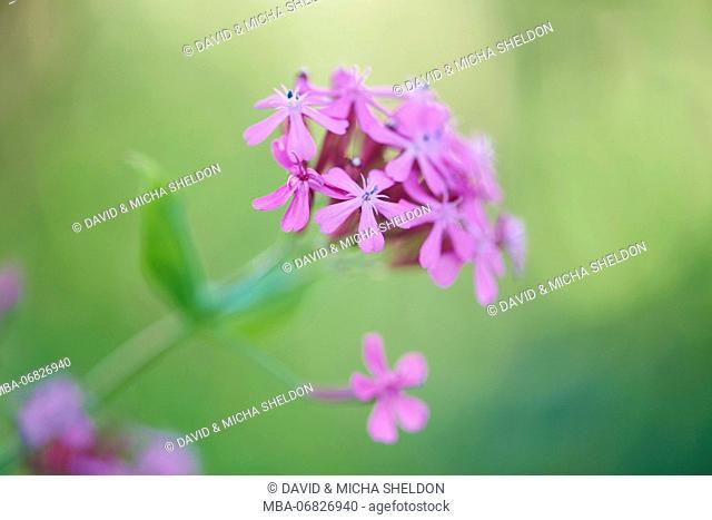 dwarf catchfly, blossoms, close up