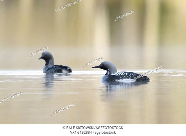 Black-throated Loon / Arctic Loon ( Gavia arctica ), attentive pair in breeding dress, swimming next to each other, Sweden, Scandinavia