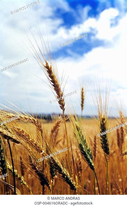 a farm fields wheat plantation crop