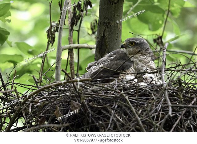 Sparrowhawk ( Accipiter nisus ), female adult, gathering its chicks, watching obever shoulder, attentive, wildlife, Europe