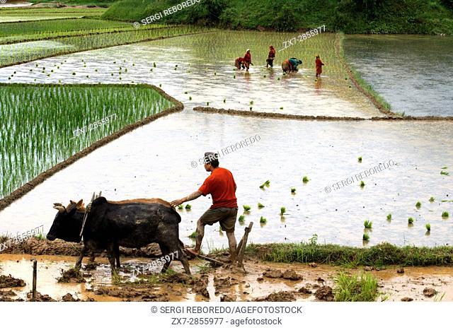 Rice paddies in Bungamati, around Kathmandu Valley, Nepal