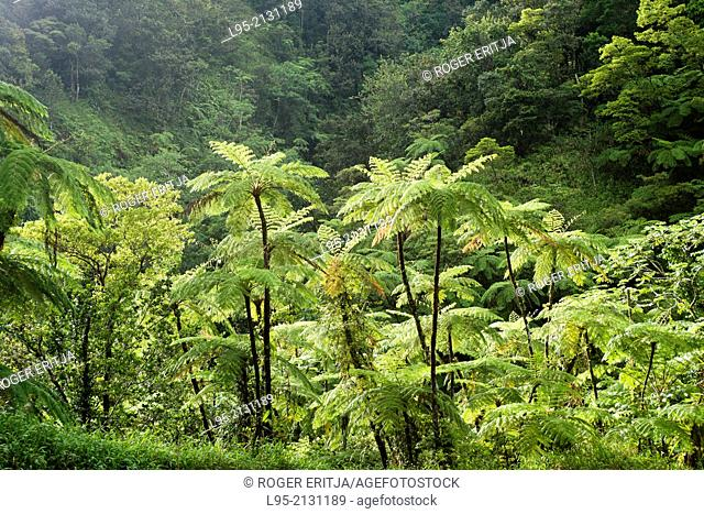Tropical ferns from the genus Cyathea can reach up to 8 to 10 meters in South American and Antilles rainforests, Martinique, French West Indies