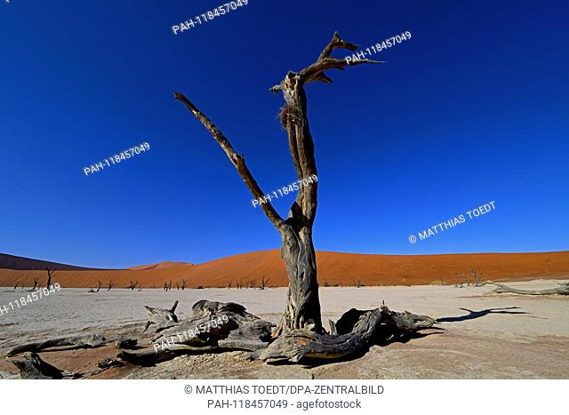 Dead remnants of an acacia tree in Dead Vlei, taken on 01.03.2019. The Dead Vlei is a dry, surrounded by tall dune clay pan with numerous dead acacia trees in...