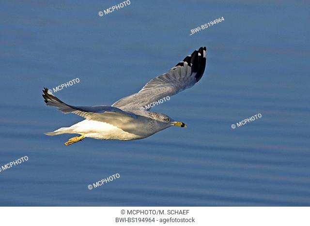 ring-billed gull (Larus delawarensis), flys, USA, Florida