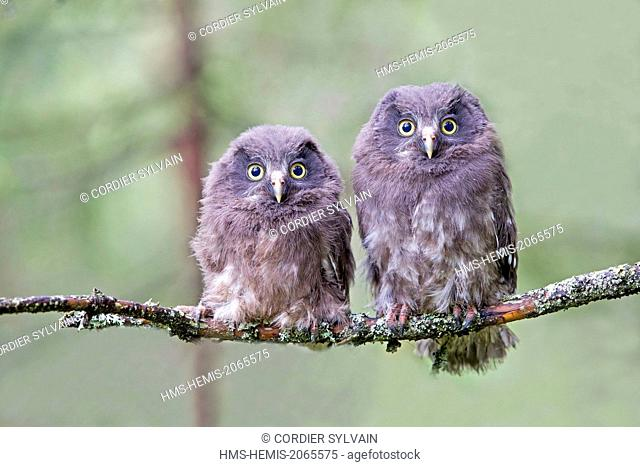 Finland, Kuhmo area, Kajaani, Boreal owl or Tengmalm's owl (Aegolius funereus), two youngs just after they left the nest, perched on a branch