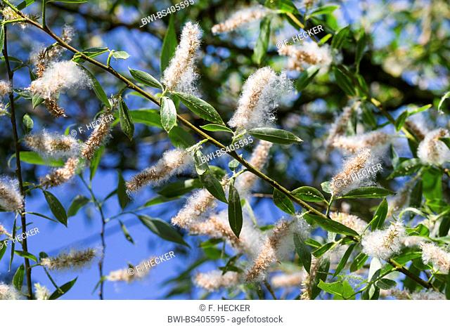 White willow (Salix alba), branch with fruits, Germany